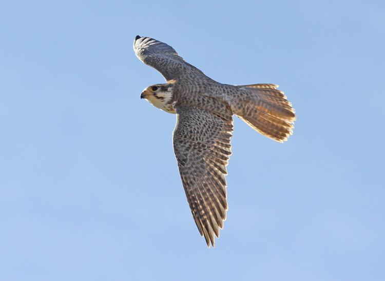 Prairie Falcon by C. Allen Morgan