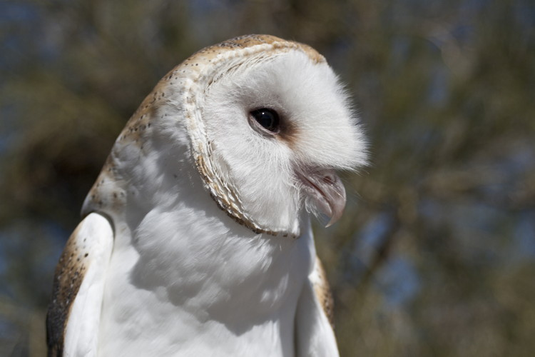 Common Barn Owl by Lisa J. Roden