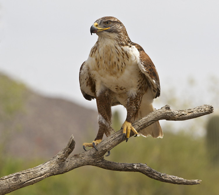 Ferruginous Hawk by Ned Harris