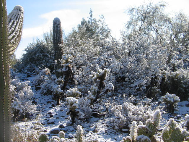 Snow on cacti
