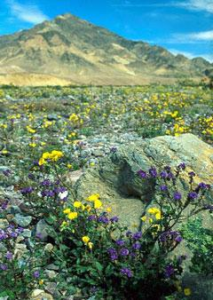 Ingram-suncups & phacelia in DV