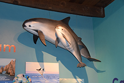 Michael Lee - Endangered Vaquitas - Warden Aquarium - 2014