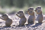 Row of prairie dog pups