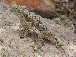 Brown lizard