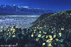 Death Valley flowers & snow - BIG FILE