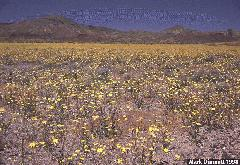 Carpet of sunflowers near Needles