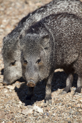 Pair of javelina