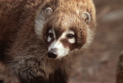 Curious Coati face
